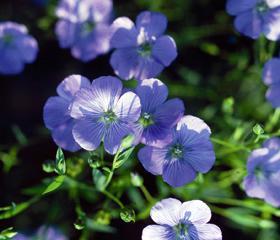 Om Klassbols lin blomma