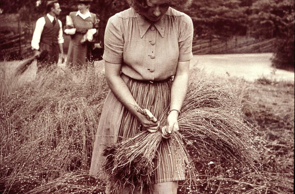 Lin flax plant Klässbols Linneväveri hållbart och ekologisk